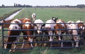 koeien hek