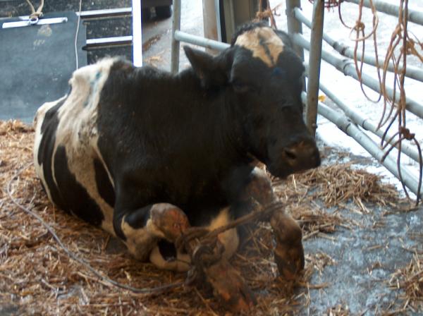 liggende koe